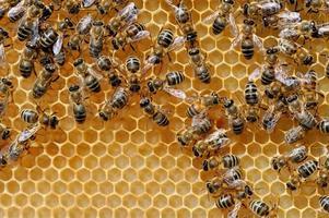 close-up van de werkende bijen foto