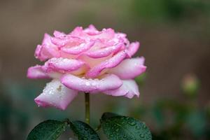 bloem: close-up roze chinese roos bloesem geïsoleerde beijing, china foto