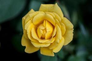 bloem: close-up gele chinese roos bloesem geïsoleerde beijing, china foto