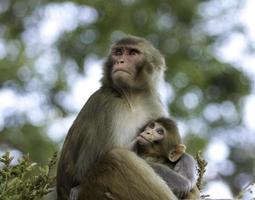 zogende babyaap en moeder bij swayabunath nepal foto