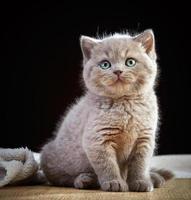 portret van Britse kort haar kitten foto
