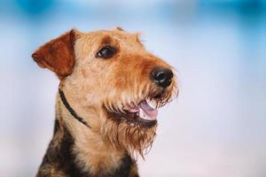 mooie bruine airedale terriërs hond foto