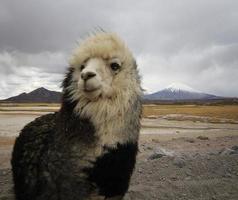 alpaca op de altiplano van chili foto