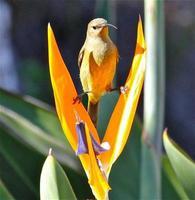 sunbird op een strelitzia