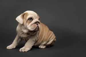 Engelse bulldog puppy.
