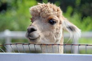 nieuwsgierige alpaca foto