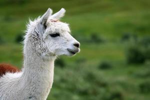 portret van witte alpaca naar rechts kijkend foto