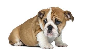 Engels bulldog pup zitten, 2 maanden oud, geïsoleerd op wit foto