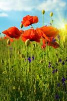 fantastisch landschap met bloemen klaprozen tegen de hemel en sunr foto