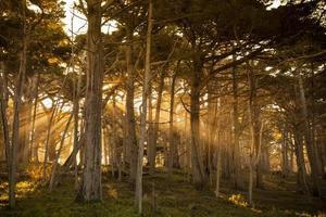 mist rond cipressen in het bos foto