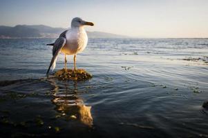 zeemeeuw met een gebroken vleugel foto