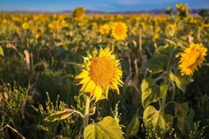 veld met zonnebloemen.