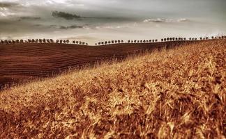 gouden droge tarweveld foto