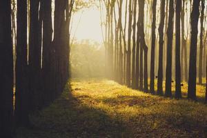 rubberboom bij zonsopgang in de mist foto