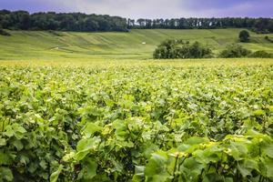 wijngaard in de champagne regio van Frankrijk foto