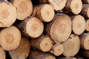 detail van Noorse den (pinus resinosa) pulp foto