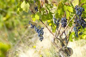 rijpe blauwe wijnstok wild foto