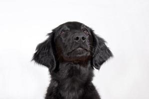 zwarte pup foto