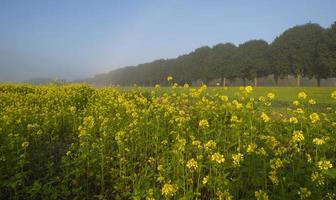 koolzaad groeit op een veld in de herfst