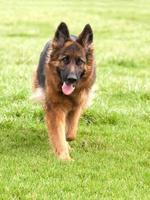 Duitse herdershond op groen gras foto