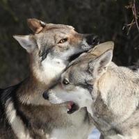Tsjechoslowaakse wolfhond die saarloos teef zoekt foto