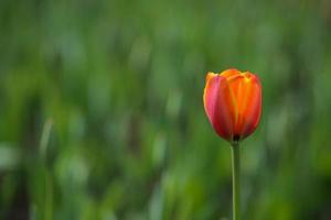 tulp bloem foto