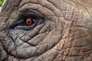 ojo de elefante. foto