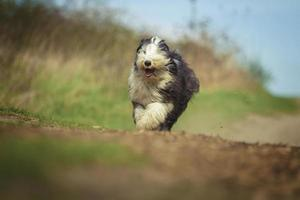 mooie leuke bebaarde collie hond oude Engelse herdershond puppy runn foto