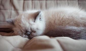slapende exotische korthaar kitten foto
