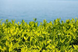 groene theebladeren in een tuin op borromean eiland foto