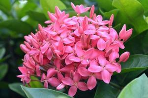 roze West-Indische jasmijnbloem foto