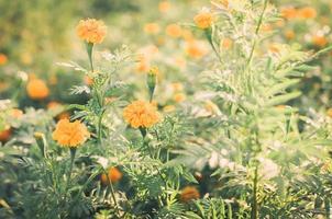 goudsbloemen of Afrikaantje erecta bloem foto