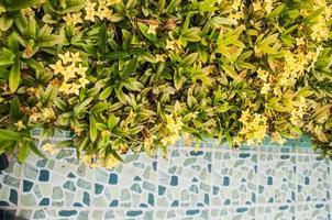 gele ixorabloemen, West-Indische jasmijn foto