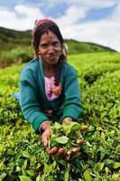 tamil theeplukkers die bladeren verzamelen, sri lanka