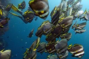 school van vleermuisvissen onder water foto