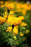 goudsbloem foto