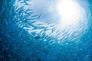 grootoogijs kingfish foto
