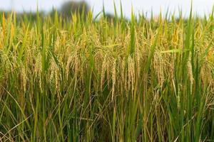 rijstveld gouden aar foto
