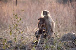 grijze langur, hanuman langurs - moeder met baby foto