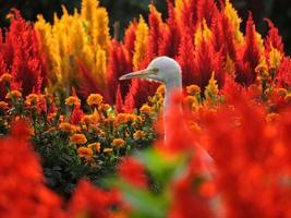 zilverreiger tussen kleurrijke bloemen