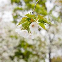 prachtige kersenbloesem, roze sakura bloemen foto