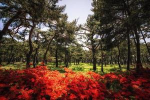 koninklijke azalea tussen pijnbomen