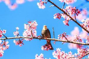 Witkopbulbul en sakura foto