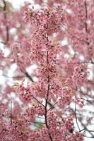 roze sakura bloem boom achtergrond foto