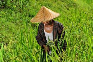 biologische boer werken en oogsten van rijst foto