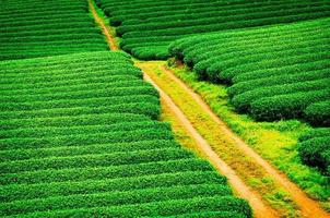 prachtige verse groene theeplantage in moc chau, vietnam. foto