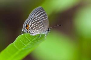 grijs gevlekte vlinder zitstokken op een groen blad foto