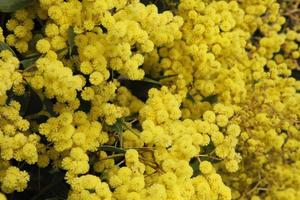 gouden acacia, Australische wilde bloem foto