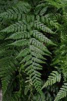 groene bladeren van een varenplant