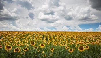 gebied van bloeiende zonnebloemen
